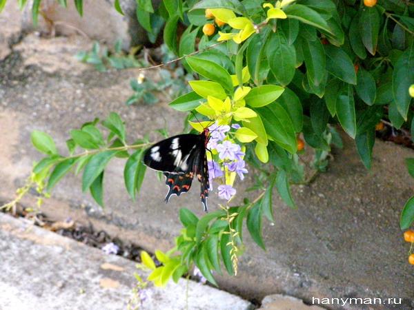 Индийская бабочка